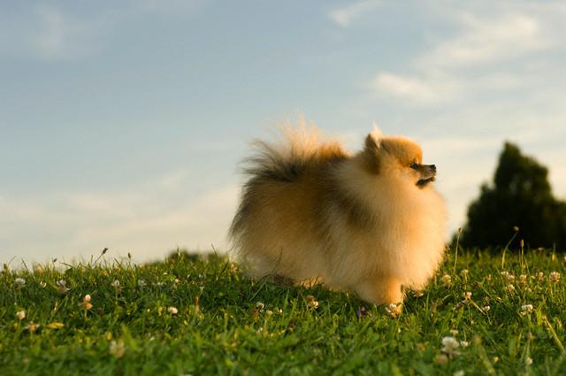 Razas de perros pequenos