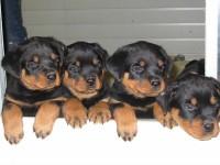 cachorritos rottweiler