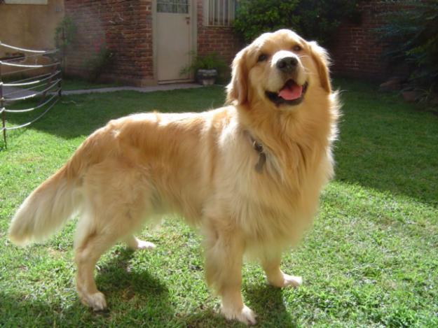 Golden Retriever Fotos Perros Perros Golden Retriever