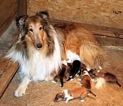 collie con cachorros