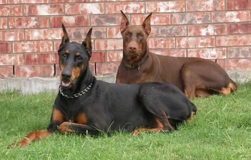 Nombre para perros doberman