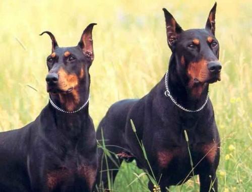 Entrenamiento para perros raza Doberman
