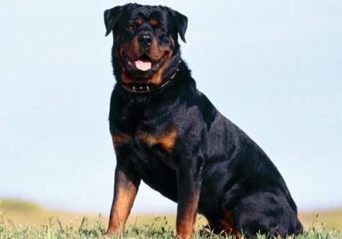 Nombre para perros Rottweiler