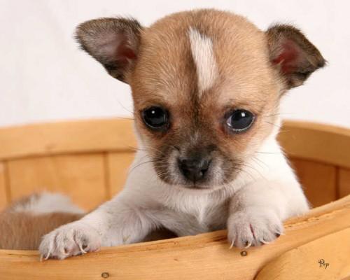 desarrollo de tu Chihuahua