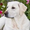 Consejos para el estrés en la raza Labrador